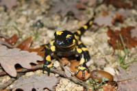 Enquête participative sur la salamandre